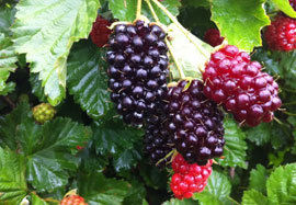 Boysenberries in the Family's Blood