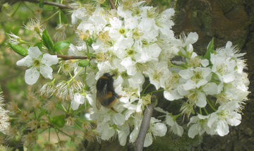 Bumblebees Working Hard in Hastings