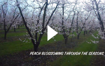 Peach Blossoming Through The Seasons