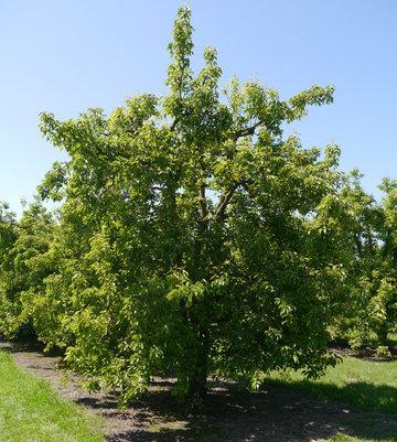 The Original James Wattie Pear Tree